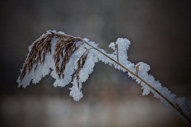 Freeze... - Het begin van de koudeperiode, mist vast gevroren aan riet.