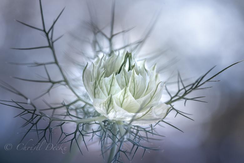 Magic budding - Met de zachte nazomer was deze juffer-in-het-groen opnieuw aan het bloeien....