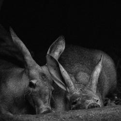Aardvarken duo