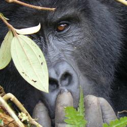 Gorilla in Bwindi NP