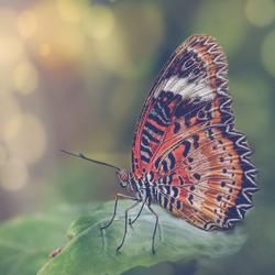 vlinder zoom