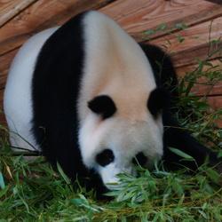 Panda in Ouwehands dierpark Rhenen