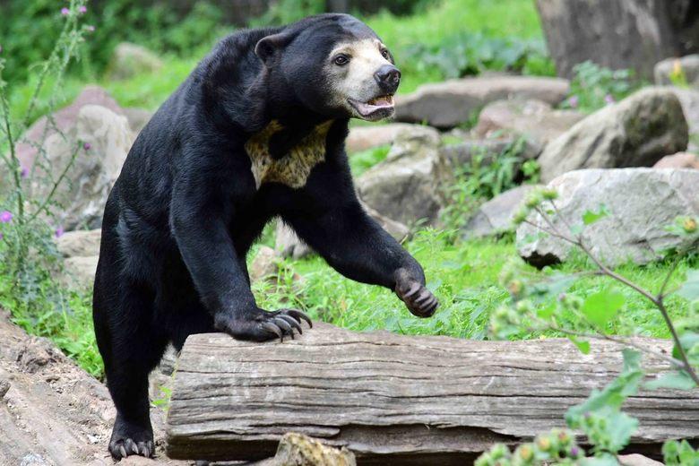 Op de evenwichtsbalk - De Maleise beer is de kleinste berensoort. Een volwassen Maleise beer weegt ongeveer 45 kilo. Ter vergelijking een grizzly beer