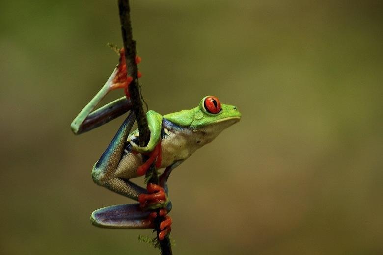 red eye three frog - Tijdens mijn reis in Costa Rica kwam ik een groep fotografen tegen die bezig waren voor een magazine. Deze kikkers zijn eigenlijk