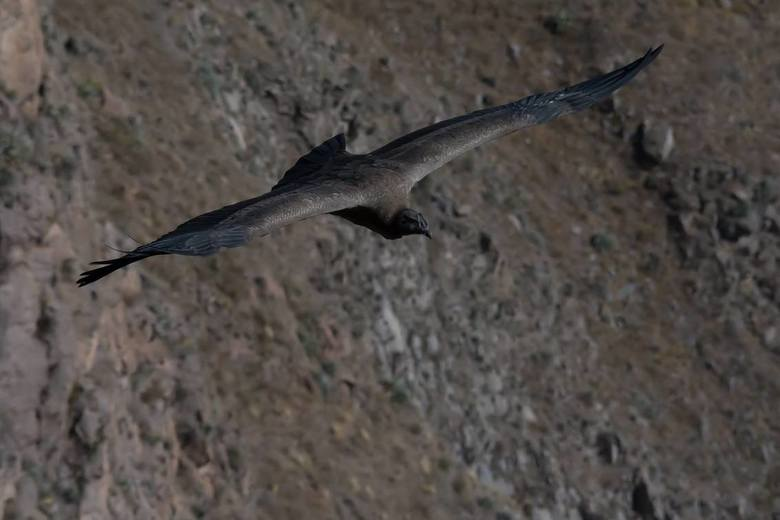 juvenile Puruaanse Condor