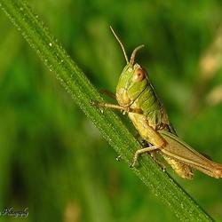 Ze zijn er weer: De '' Grashoppers''