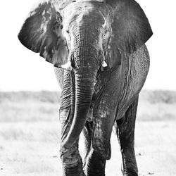 Eenzame olifant