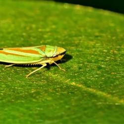 rododendron Cicade