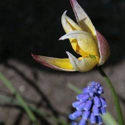 Tulipa Tarda uitgebloeid