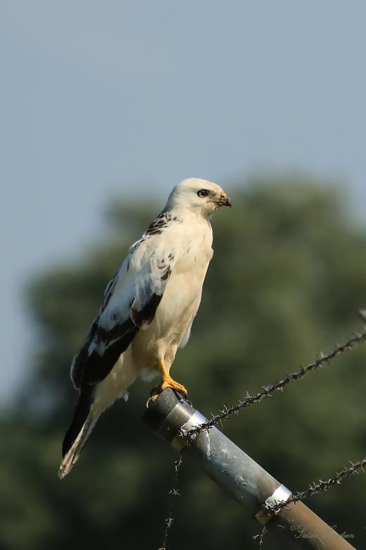 Blonde Buizerd - Ik denk een blauwe kiekendief man. Vanmiddag gefotografeerd op Lauwersoog. <br /> <br /> update:<br /> Ik heb inmiddels begrepen d