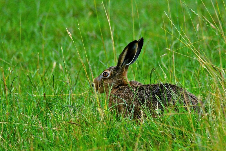 Haas  - Haasje met gespitste oren is zeer alert.