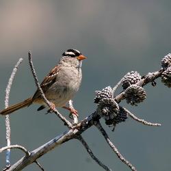 Vogel met petje op! [White crowned sparrow]