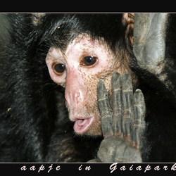 aapje in Gaiapark