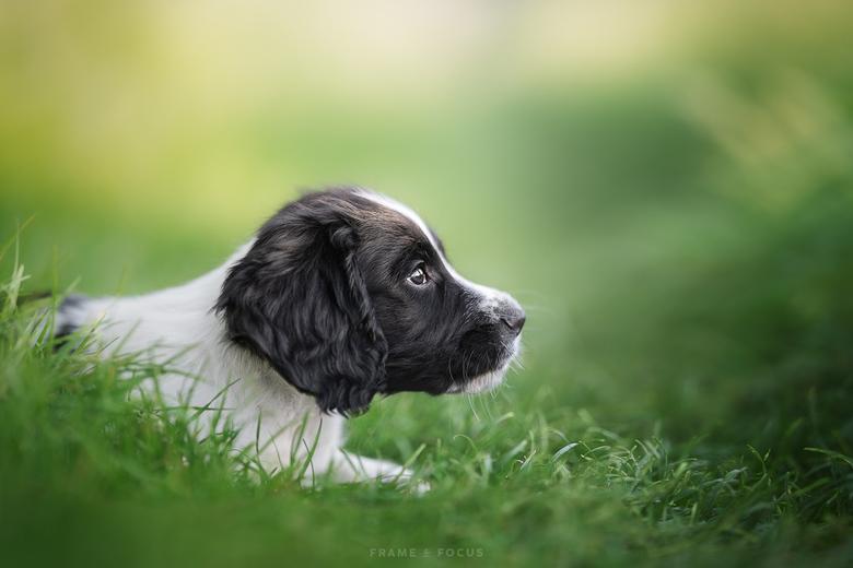 Puppy Whistler - Het was puppy Whistler zijn eerste keer in het gras. Als een wervelwind sprong hij op en neer, genietend van het kriebelende gras.