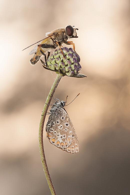 Going to the top! - Deze Zweefvlieg en Icarusblauwtje hadden beide dezelfde slaapplaats uitgezocht.<br /> <br /> Iedereen een fijn weekend gewenst e