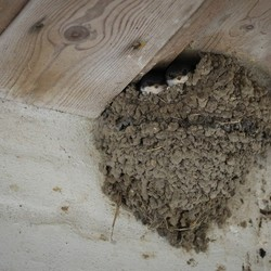 jonge zwaluwtjes in nest