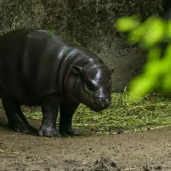 jong dwergnijpaard