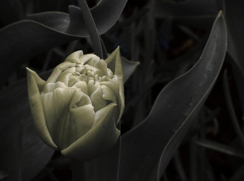 De Tulp in al haar eenvoud - F8; 1/125sec; Iso-100; 30mm