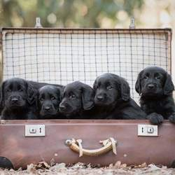 Flatcoat retriever puppies