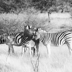 Zebra's in Etosha National Park