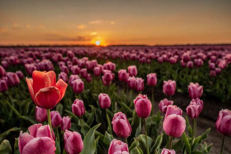 Tulpen - Tulpen in de polder
