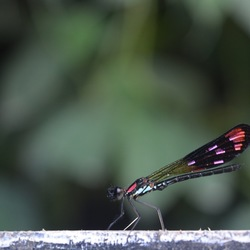 Insect Bali