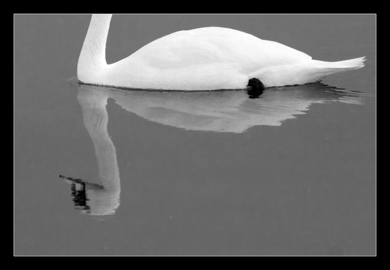 Upside down - De reflectie van een zwaan