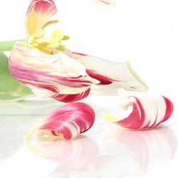 De vergankelijkheid van een tulp.