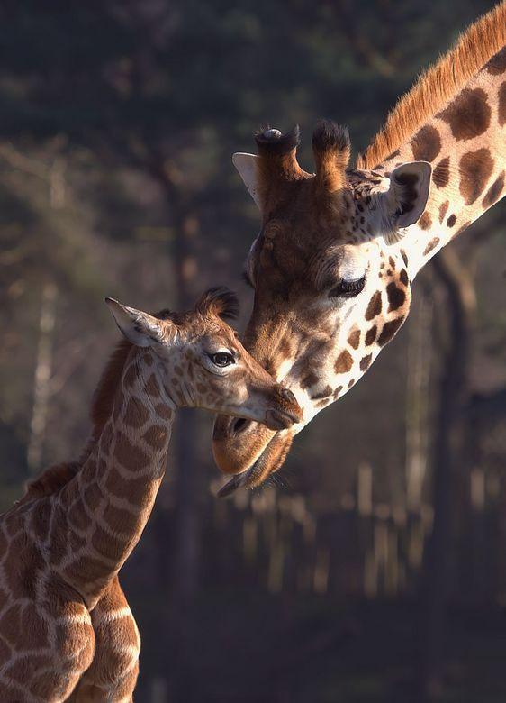 Willem - Net voor carnaval is dit jonge girafje geboren. Nog een beetje wankel op de poten maar loopt al goed met de rest mee. Willem is zijn naam ( g