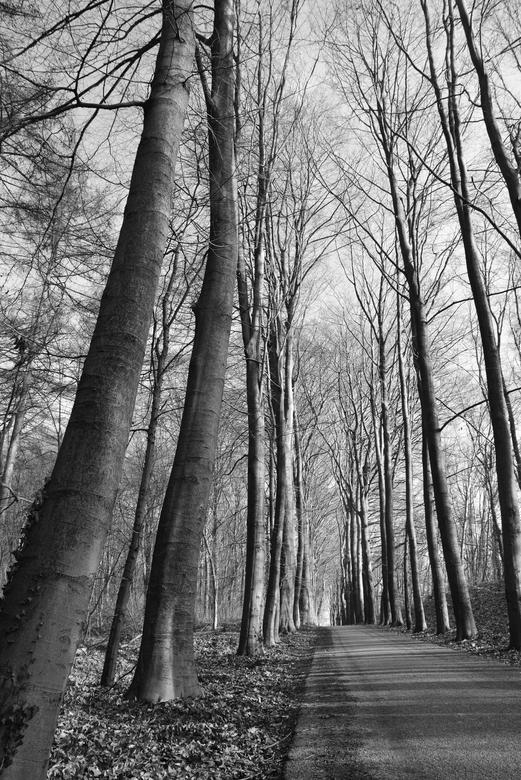 Hoge bomen  -