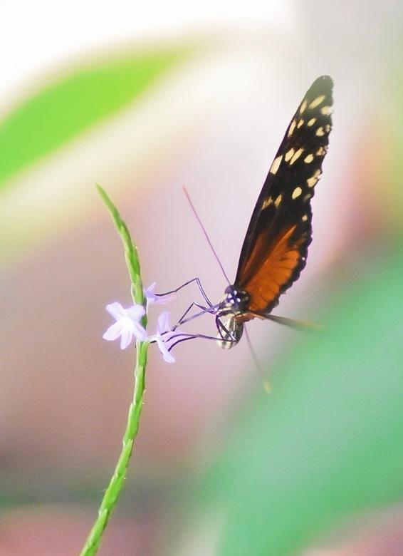 Tijger-Passiebloemvlinder - Tijger-Passiebloemvlinder in de Mangrove in Burgers' Zoo. Ik vind vlinders fotograferen super om te doen. Spannend ook, om