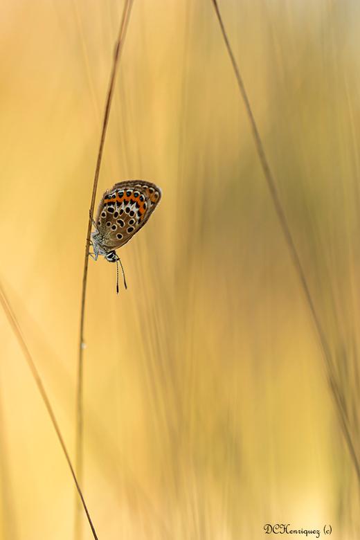 Heideblauwtje  - Nog eentje van mijn vroege uitstapje naar het Leersumse veld. <br /> <br /> Bedankt voor de fijne reacties bij mijn vorige opname.