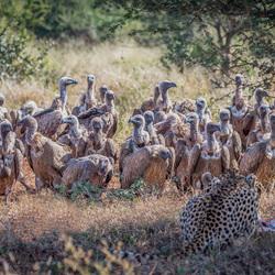 cheeta kill
