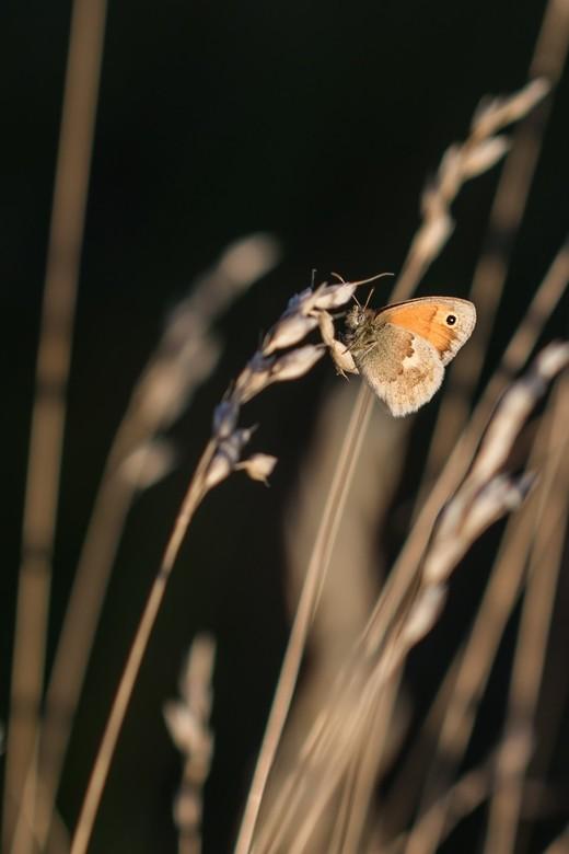 Hooibeestje - Het hooibeestje met tegenlicht tijdens ondergaande zon