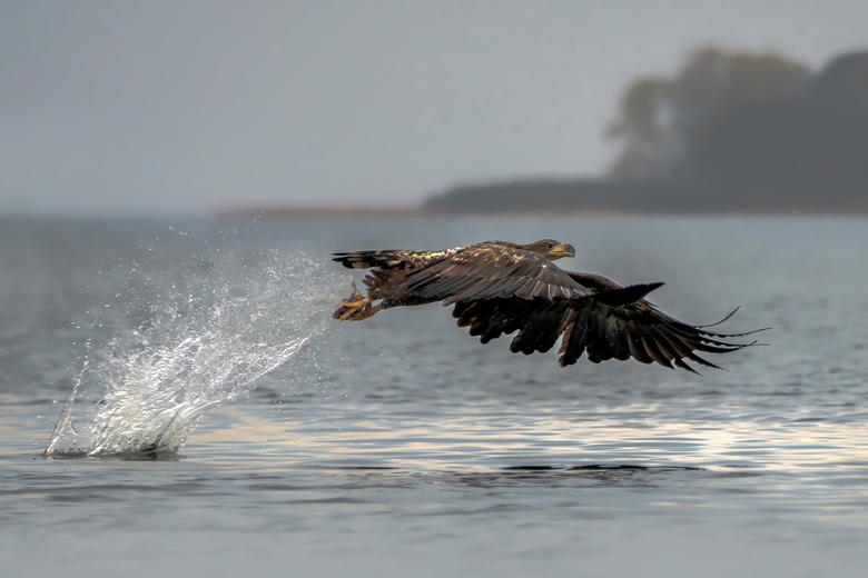 Got you. - Dit is het vervolg van mijn foto `the catch`. Alleen nu geen volwassen zeearend maar een juveniele zeearend in beeld.<br /> <br /> De zee