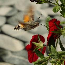 kolibrivlinder!!! In Nederland