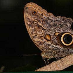 Caligo Eurilochus (Uilvlinder)