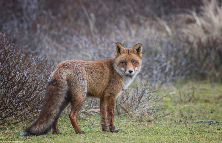 Wintervacht - Familie van de andere vos met een lekkere dikke jas aan. Fijn weekend verder, Djurre
