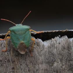 Groene Kever