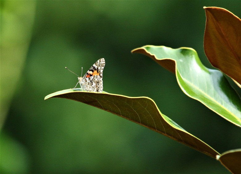 6Y5A8713 - distelvlinder op blad van Magnolia Grande Flora