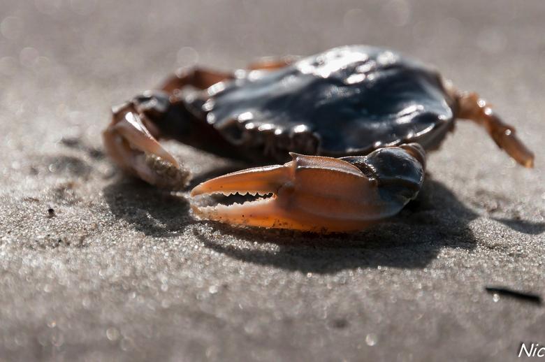 Crab - Terschelling