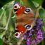 vlinder...................