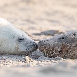 Seals kiss