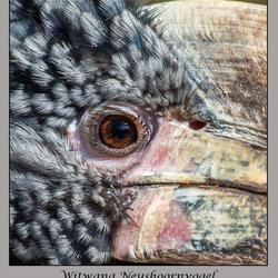 Zilverwang Neushoornvogel