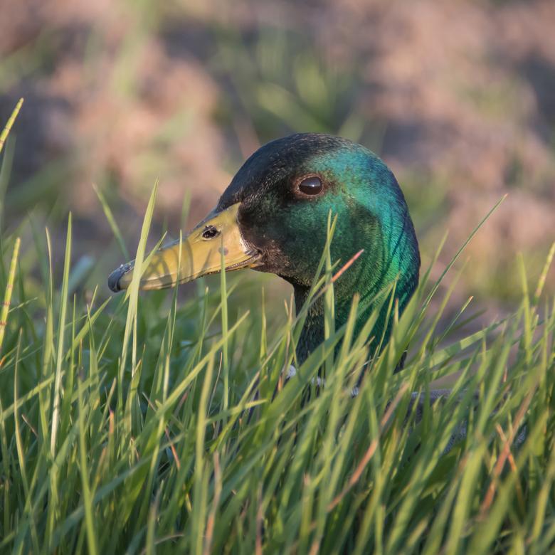 Woerd - ´Gewoon een woerd´, maar toch hou ik van de mooie groene kleuren op zijn kop en vond het moment dat hij zo net boven het gras uit keek wel aar
