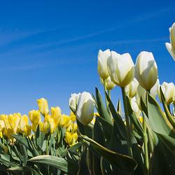 Tulpen in het noordoostpolder