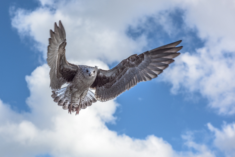 Face to face - Zeemeeuw in vlucht met gespreide vleugels, kijkend in de lens.
