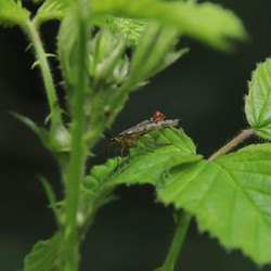Schorpioenvlieg (2)