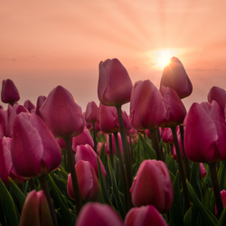 Tulpen Groningen