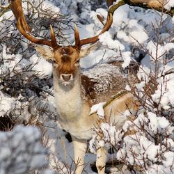 Fallow Deer in a Fairytale World